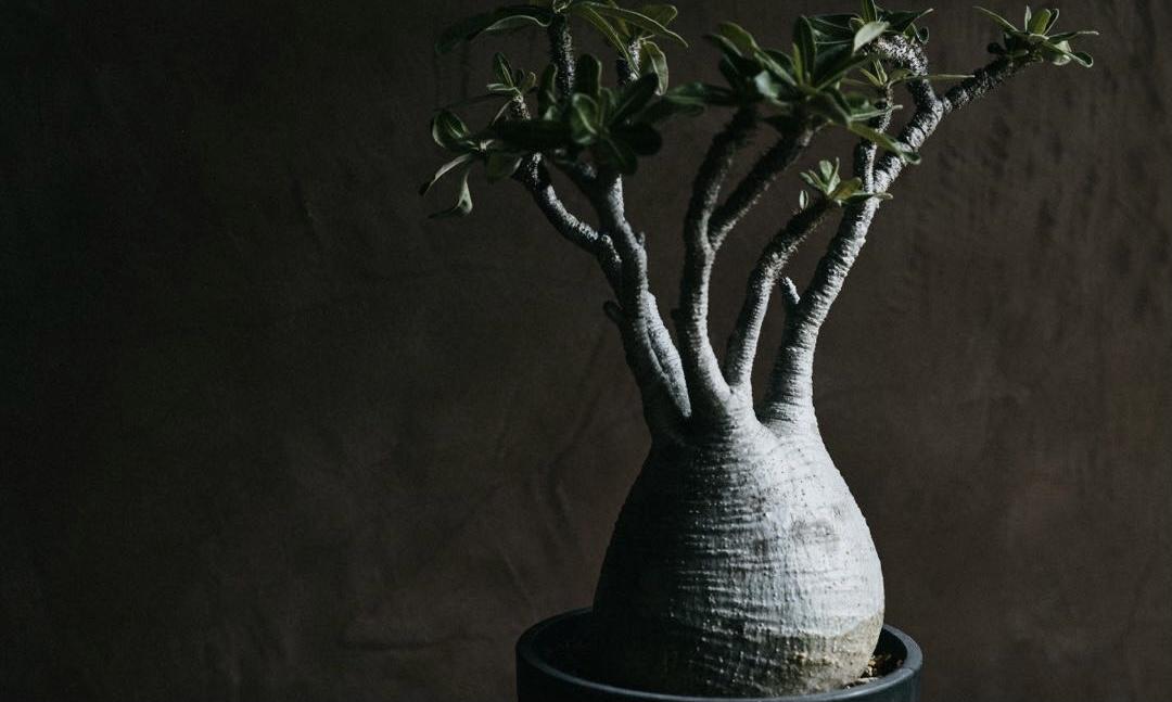 「块根植物」或许是当代都市人生活状态的具像投射?